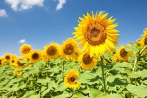 sunflower-slms